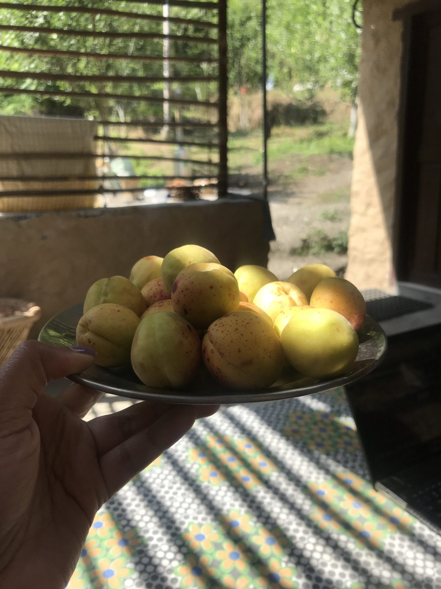 eating apricots in himachal