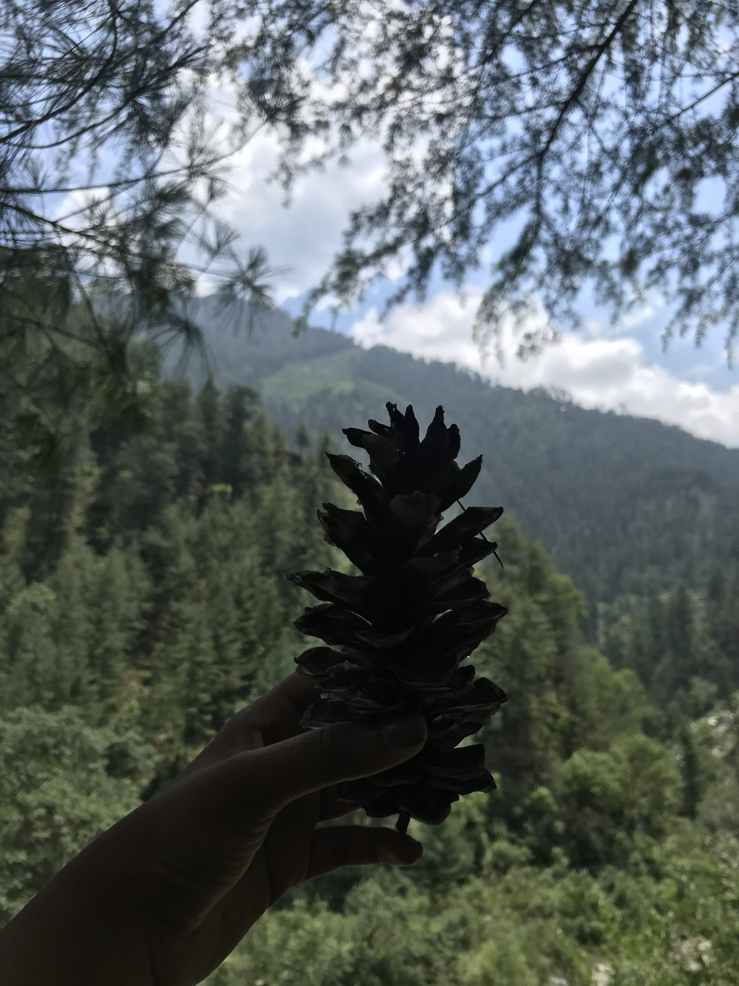 himachal pine cone